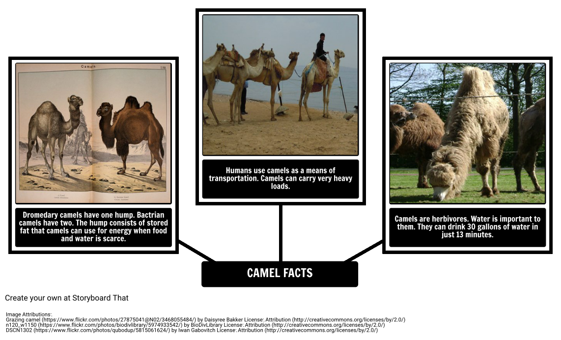Drawing camels illustrated. How the camel got