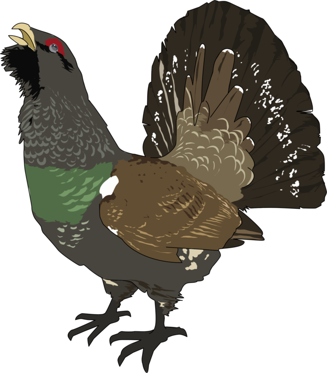 Feathers clipart western. Bird ruffed grouse capercaillie