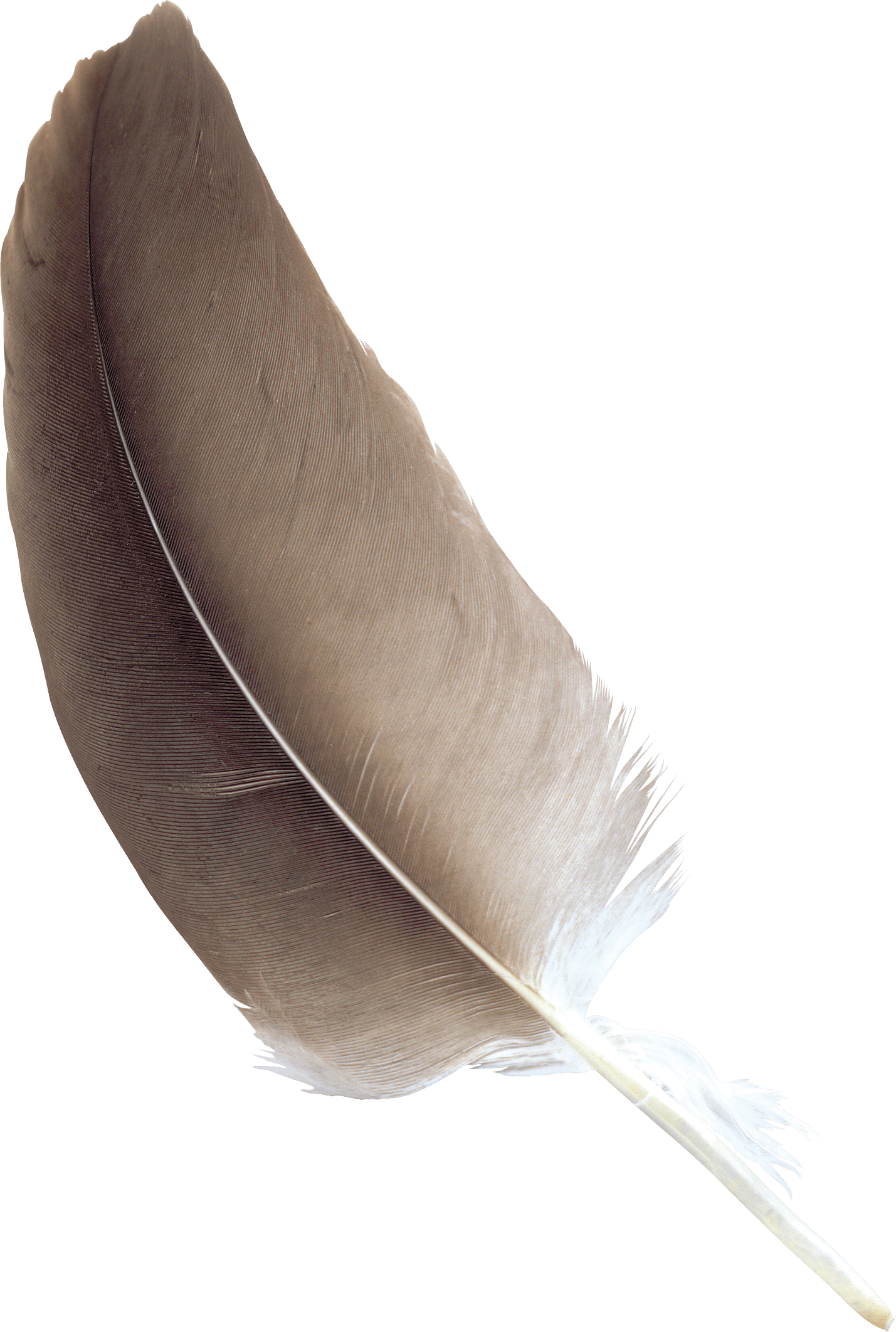 Feathers transparent png. Feather brown stickpng