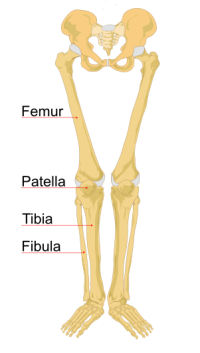Femur drawing bone. The four main knee