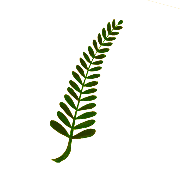 Fern clipart green fern. Computer icons plant stem