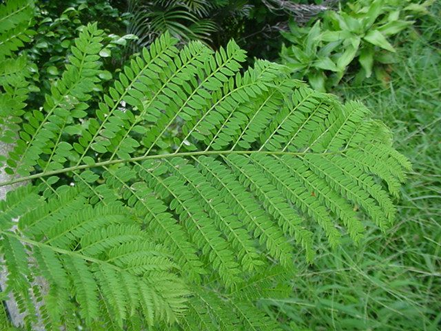 Fern clipart compound leaf. Bipinnate leaves plants and
