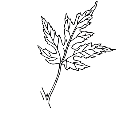 Field botany enter the. Twig drawing compound leaf picture freeuse stock