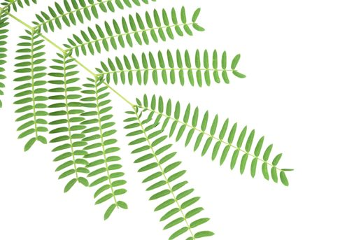 fern clipart compound leaf
