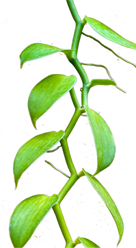 Fern clipart compound leaf. Home page vanilla orchid
