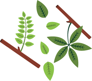 Fern clipart compound leaf. Tree identification musketeers if