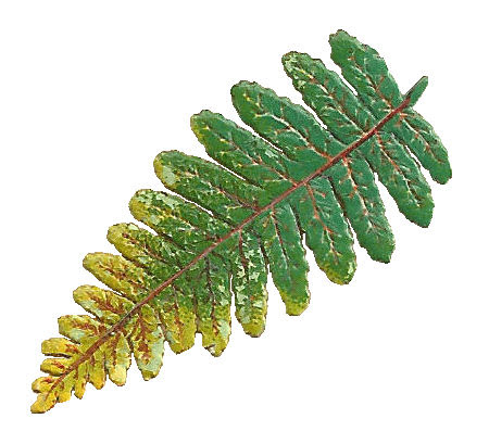 Fern clipart compound leaf. Drawing at getdrawings com