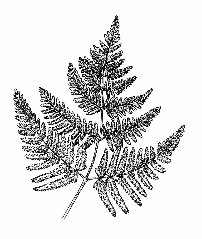 Fern clipart line art. Botanical drawing at getdrawings