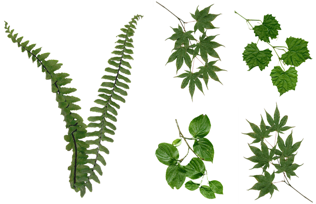 Fern leaf png. Leaves foliage stock assorted