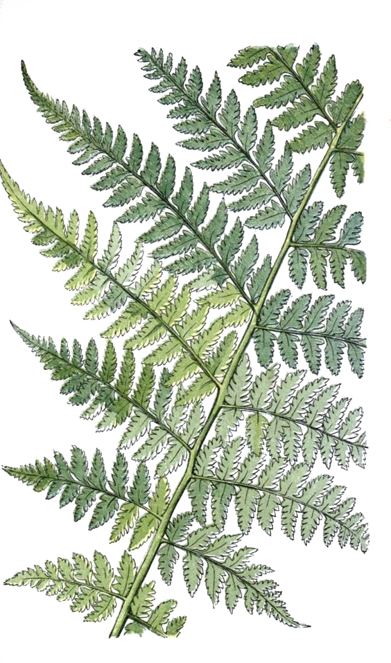 Transparent fern plant leaves. The ferns of great