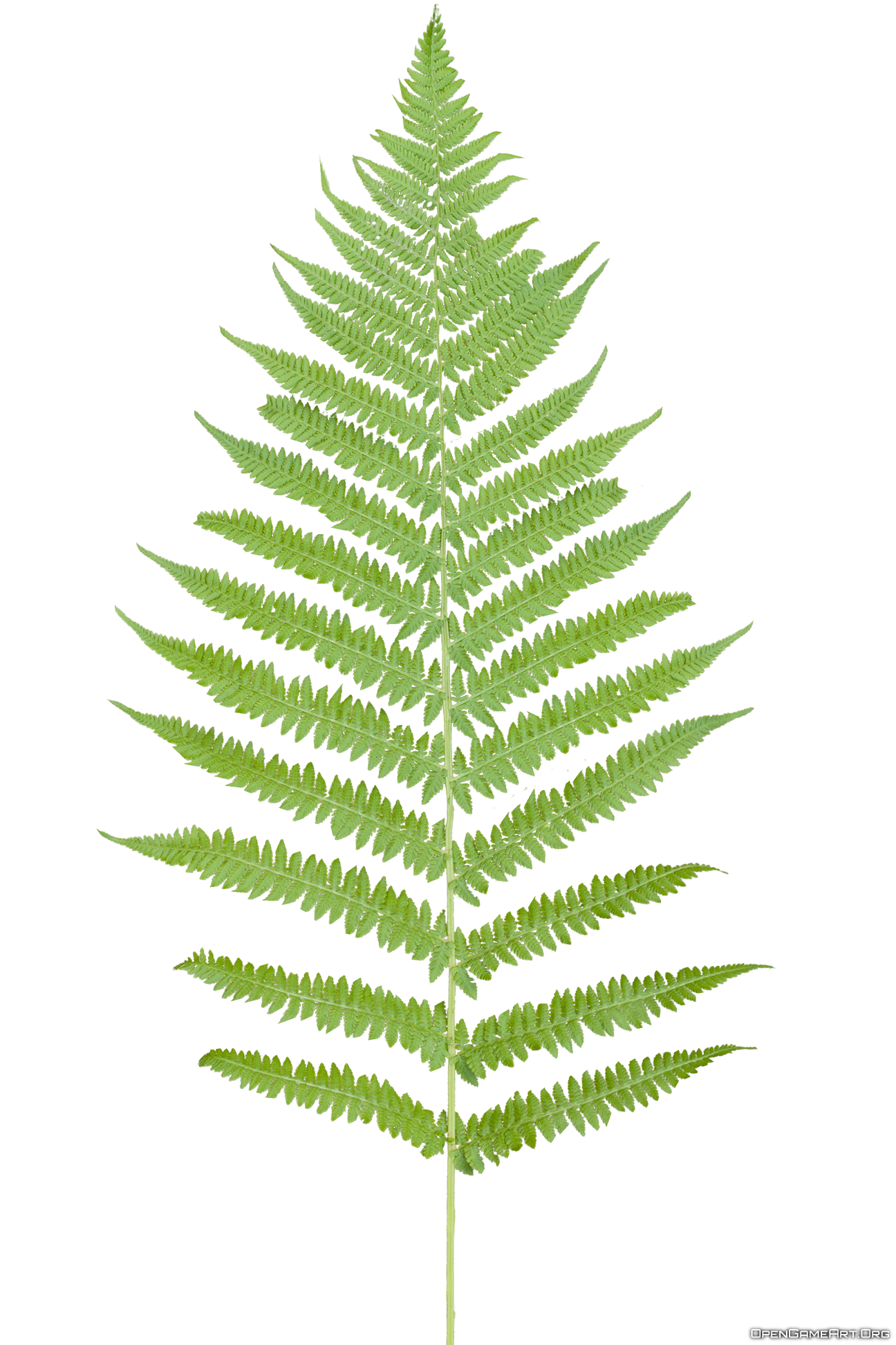 Transparent fern background. Ferns png pictures free