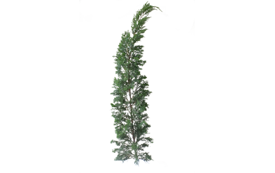 Fern pine png. Tree