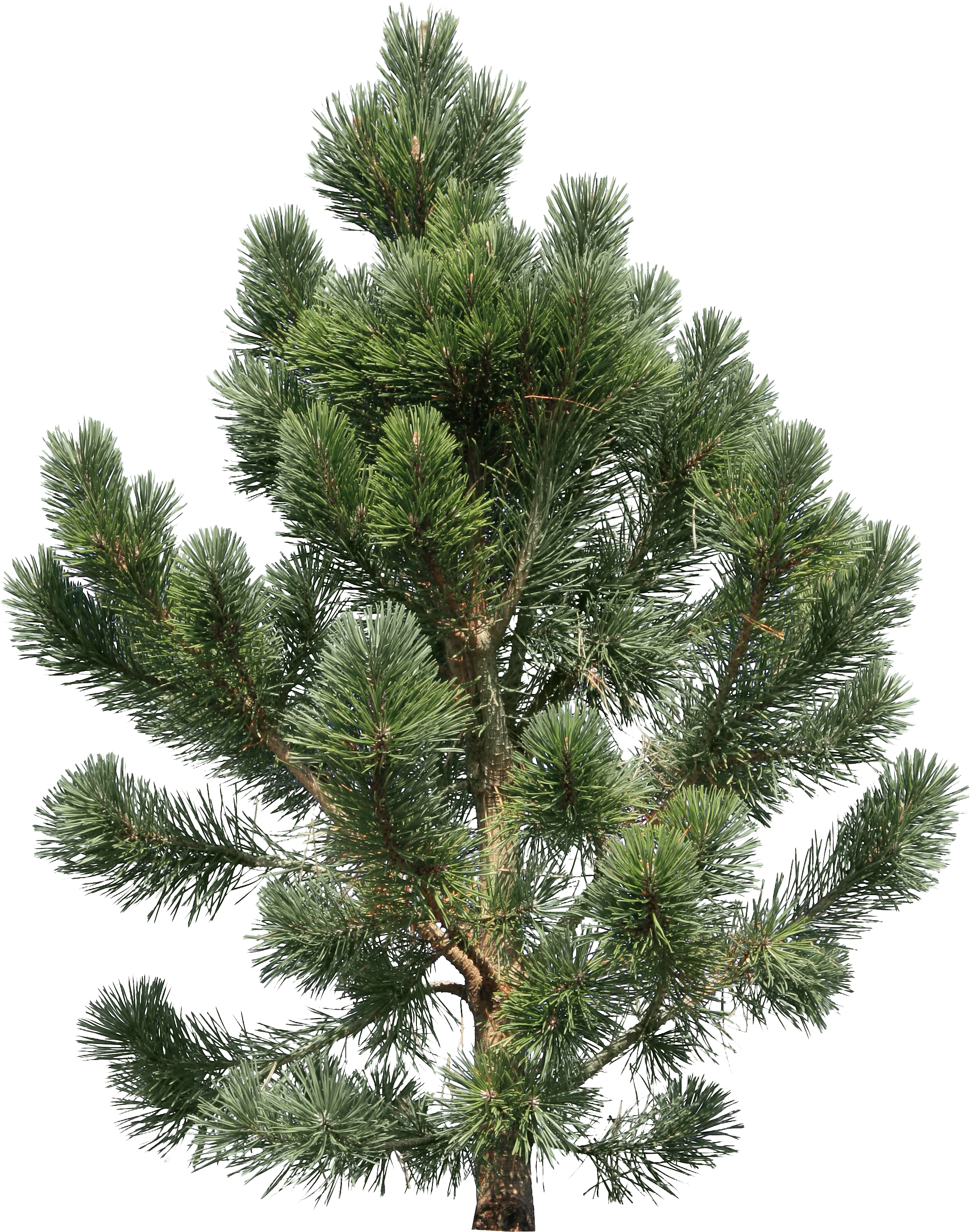Fern pine png. Christmas tree