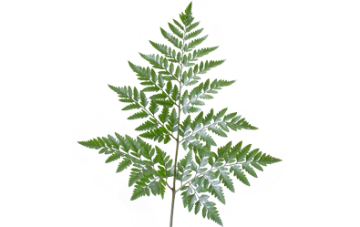 Fern pine png. Tree hedera leather leaf