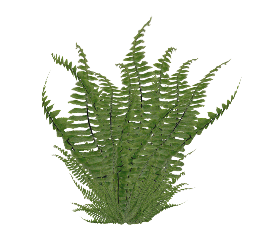 Fern png. Image