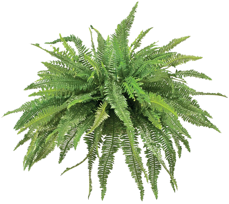 Fern png. Download transparent animated picture