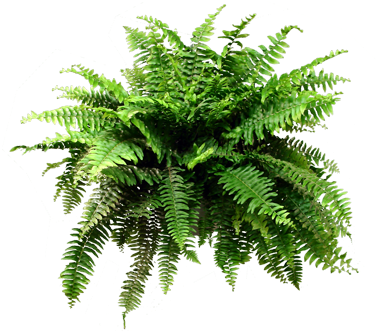Fern png. Download image with no