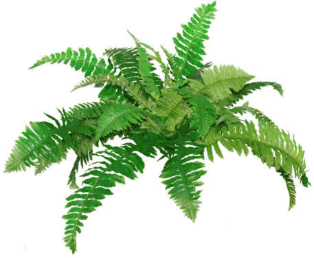 Fern png. Ferns transparent pictures free