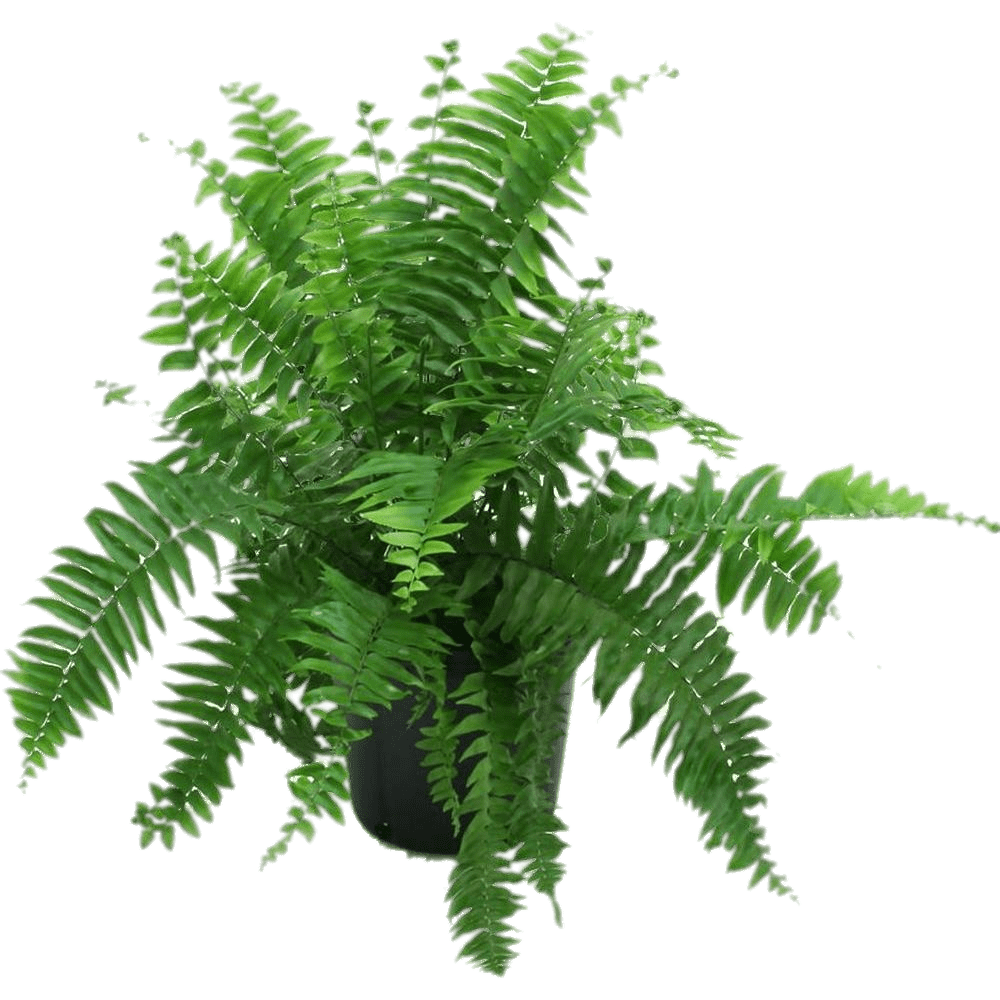 Fern png. In black pot transparent