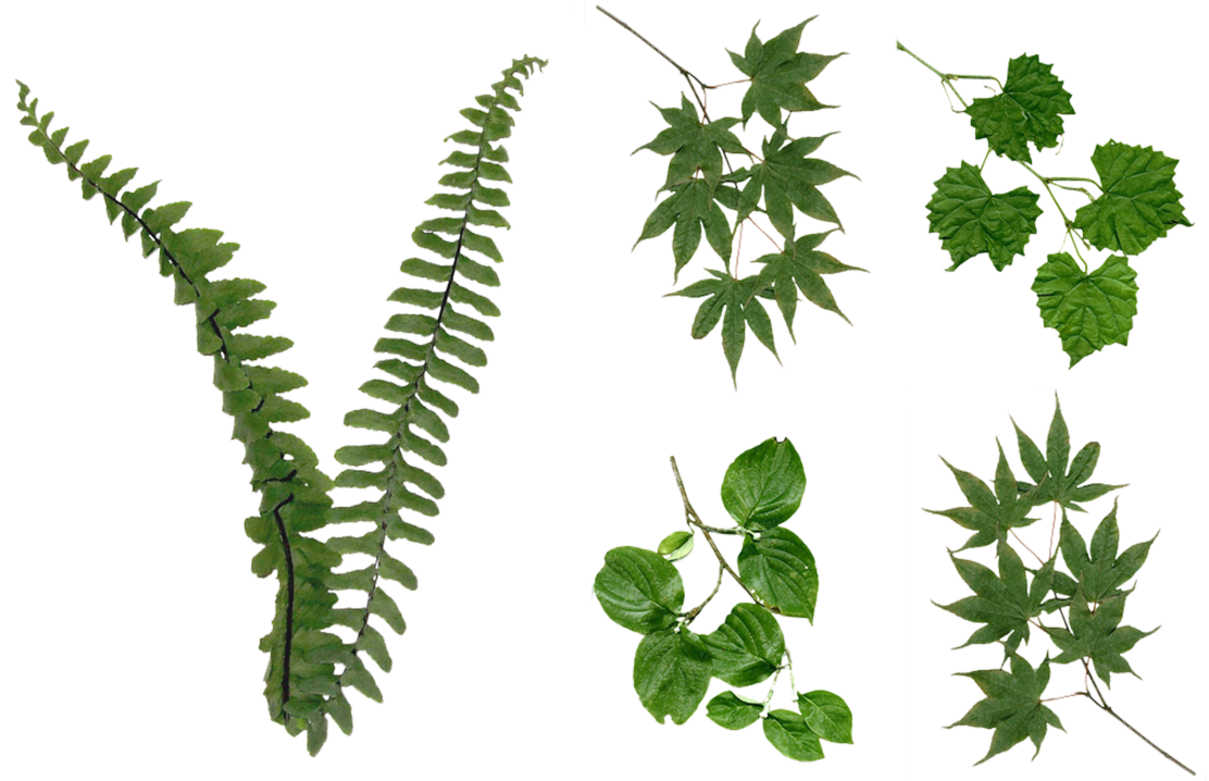 Fern png. Leaves foliage stock assorted