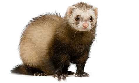Ferret vector abstract. Png hd peoplepng com