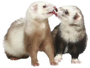 Ferret vector abstract. Png transparent peoplepng com