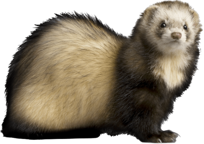 Mink drawing polecat. Millions of png images