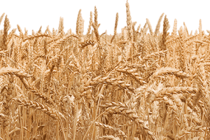 Field clipart wheatfield. Wheat png image related