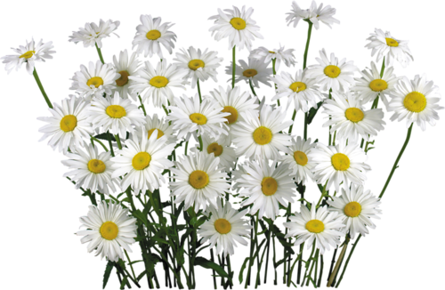 field of flowers png