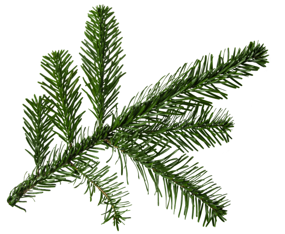 Pine fir png. Branch by nellygraceng on