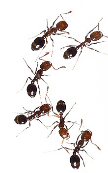 Transparent ant little red. Faqs about fire ants