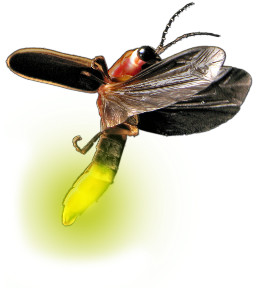 Firefly insect png. Atp testing promicol general