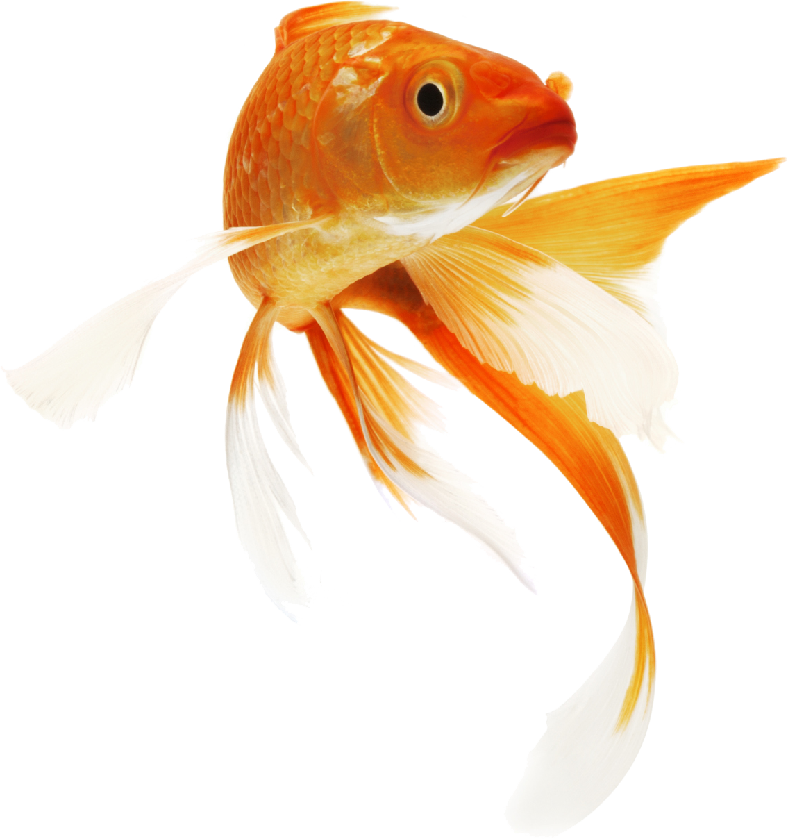 Fish in bowl png. Clipart icon transparentpng