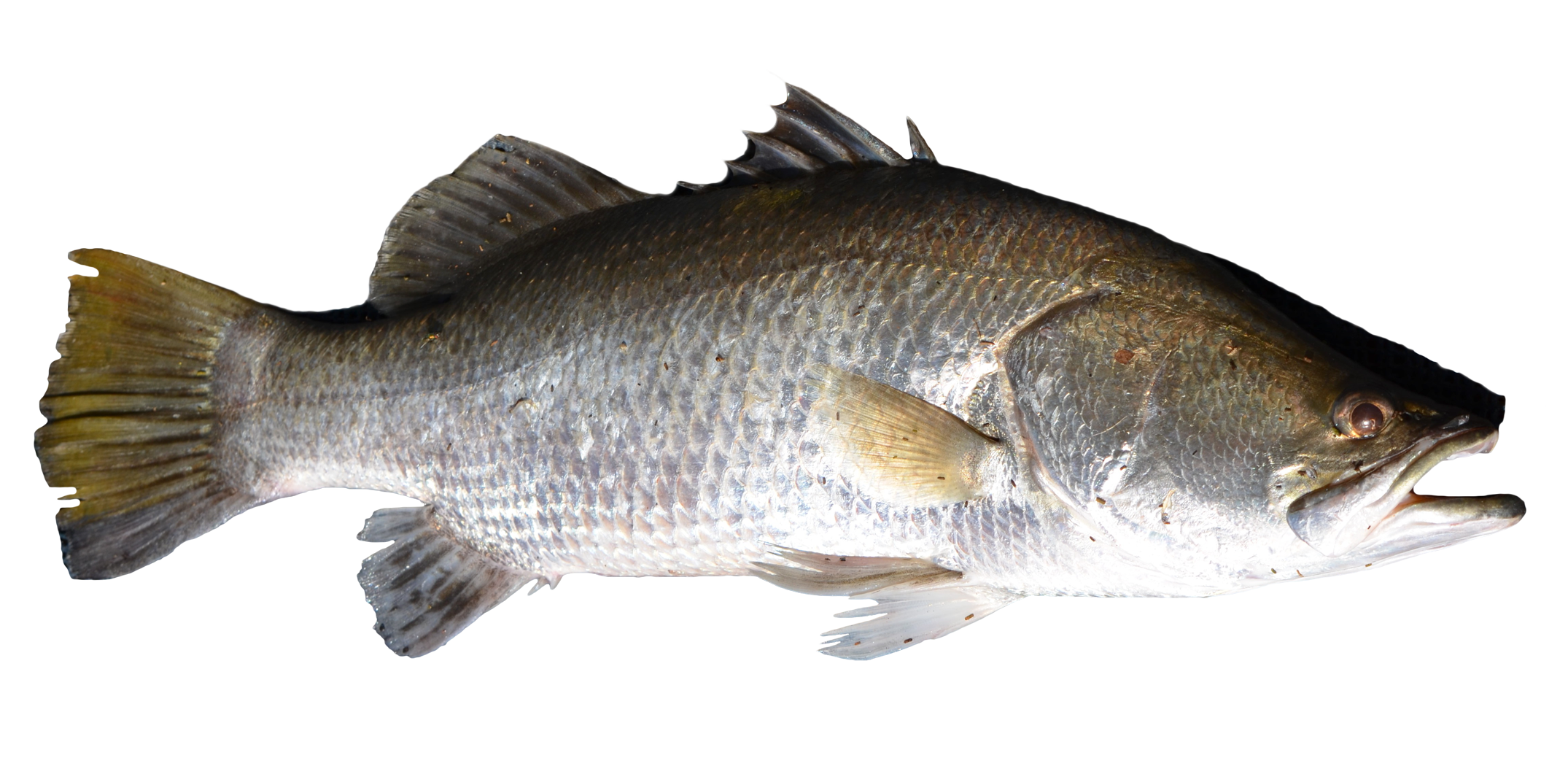 Fish png. Transparent image pngpix