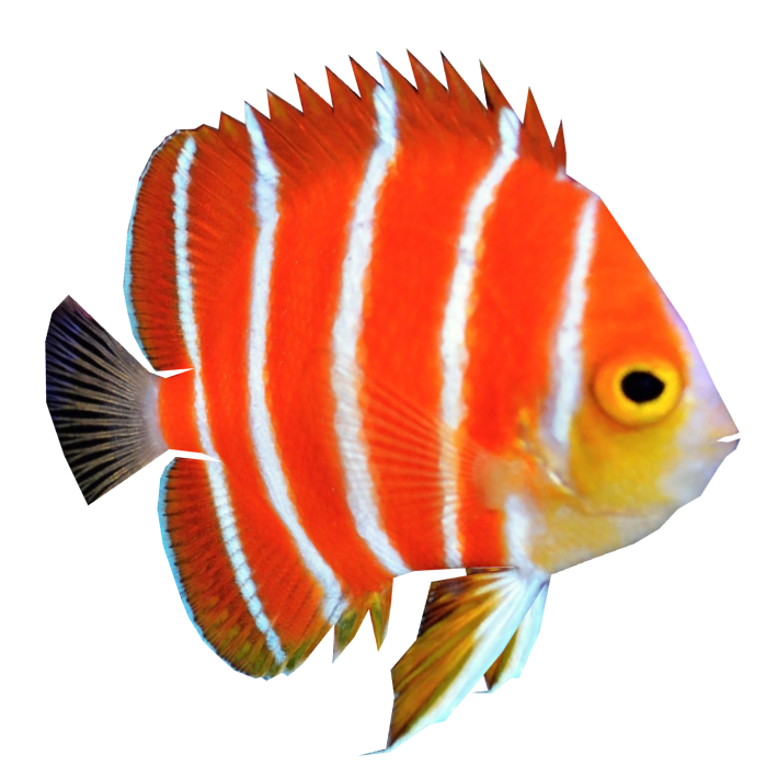 Fish png. Angel hd transparent images