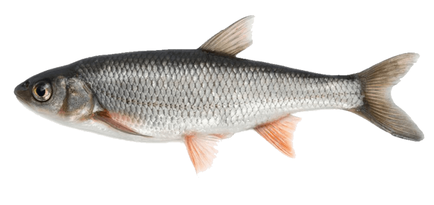 Fish png. Download images background toppng