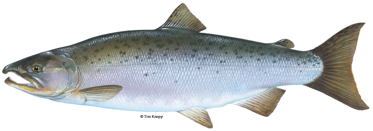 Fish salmon with water png. Coho