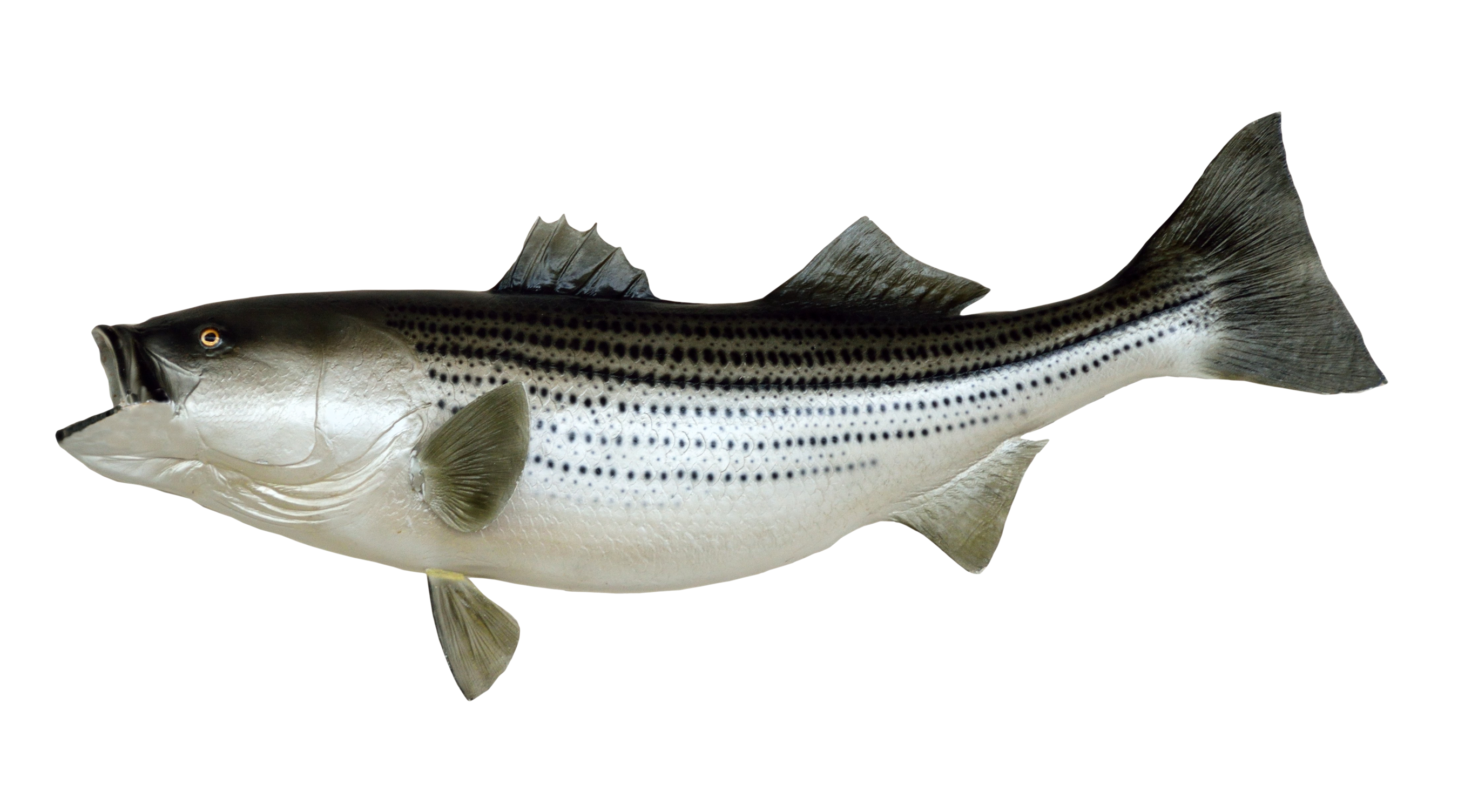 Fish salmon with water png. Best images of image
