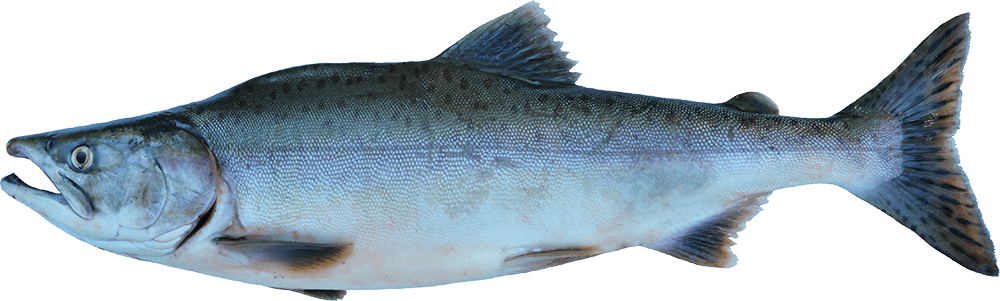Fish salmon with water png. Stand for the alaska