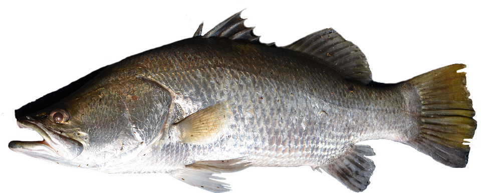 Fishing clipart caught fish. Png
