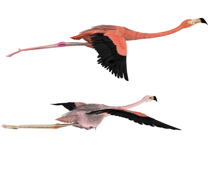 Flamingo clip flying. Png image