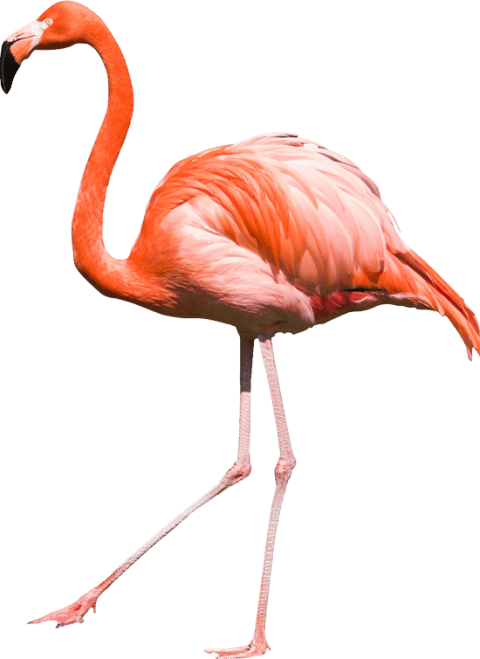 Flamingo png. Free images toppng transparent