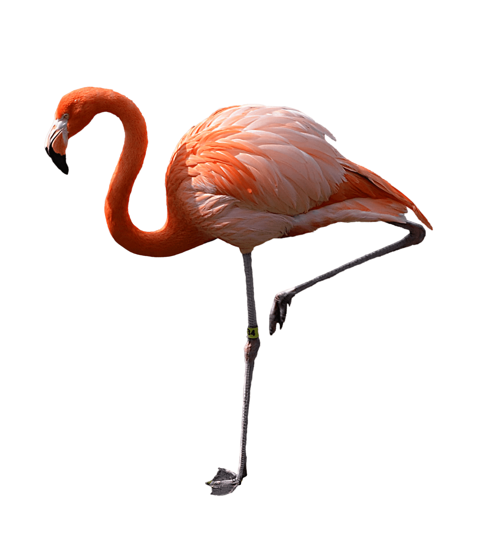 Flamingo transparent real. Standing left png stickpng