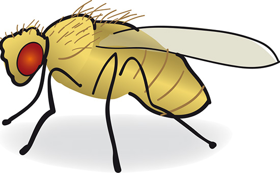Flies clipart flie. Fruit fly drawing at
