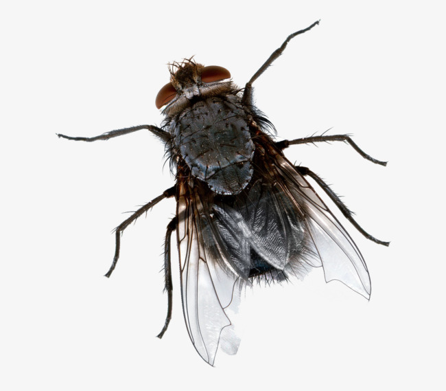 Flies clipart transparent. Black fly animal wings