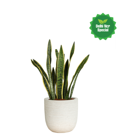 Snake plant png. Planter in ribbed white
