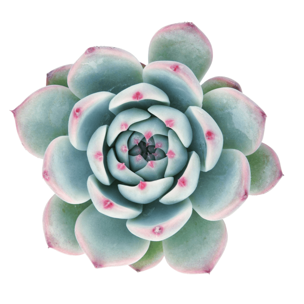Roses clipart succulent. Purple plants images gallery