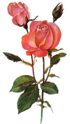 Tumblr roses png. Flowers transparent illustrations