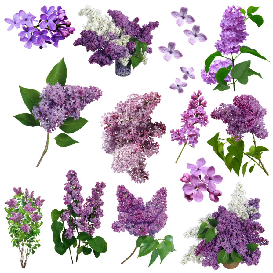 Flores lilas png. Pin by x xinhx