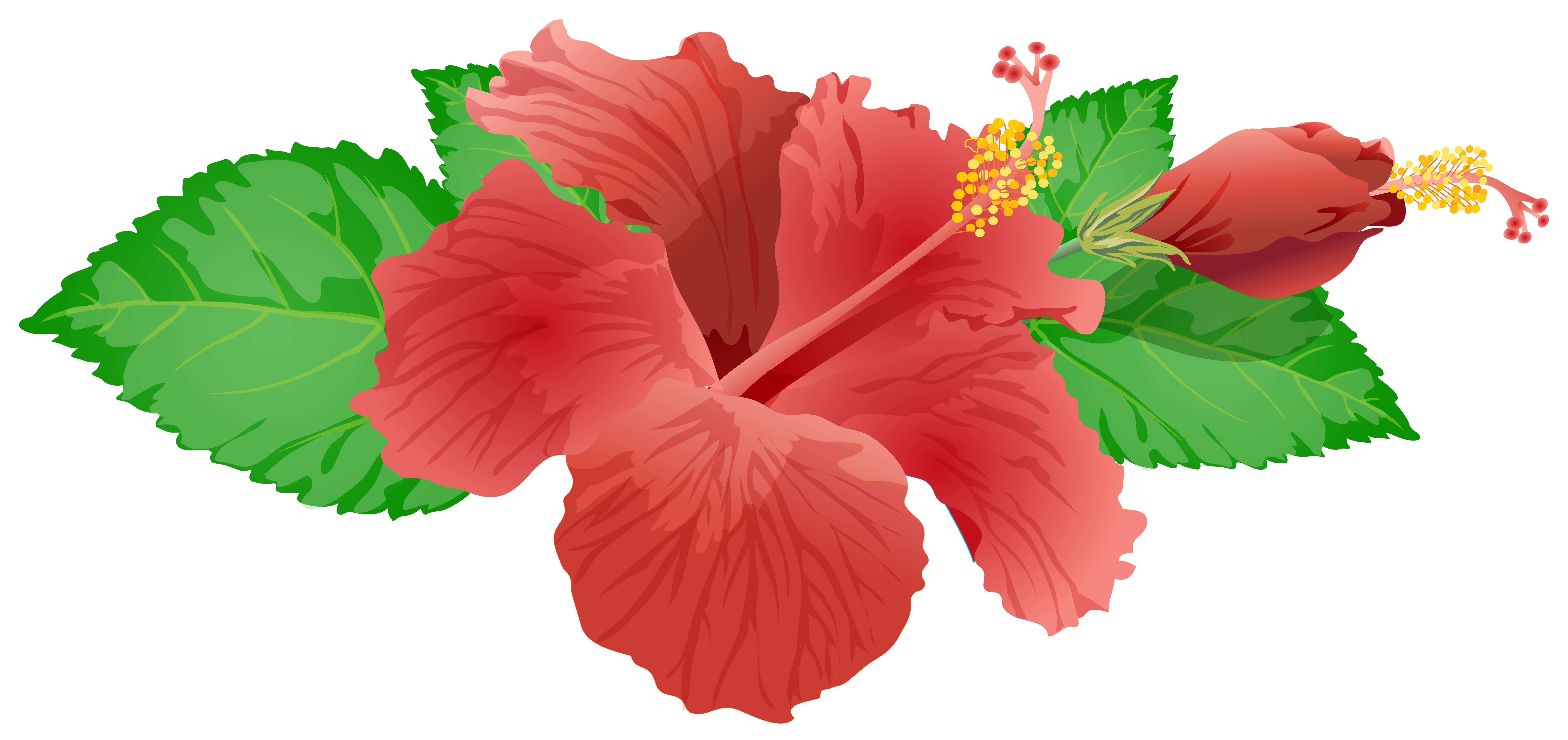 hibiscus flower png